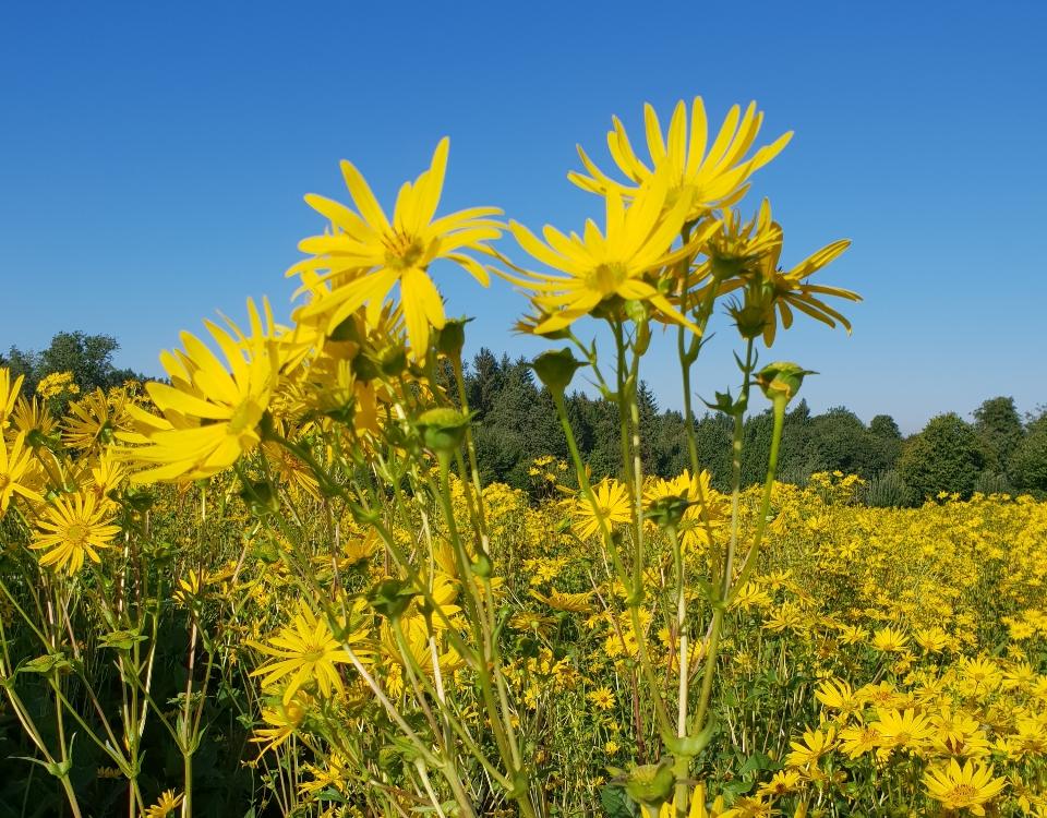 Blühendes Feld mit Durchwachsener Silphie