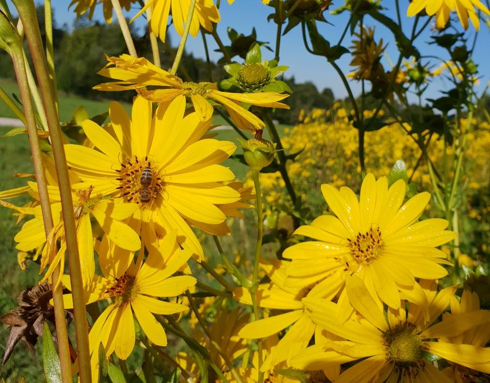 Blume der Durchwachsenen Silphie mit Biene